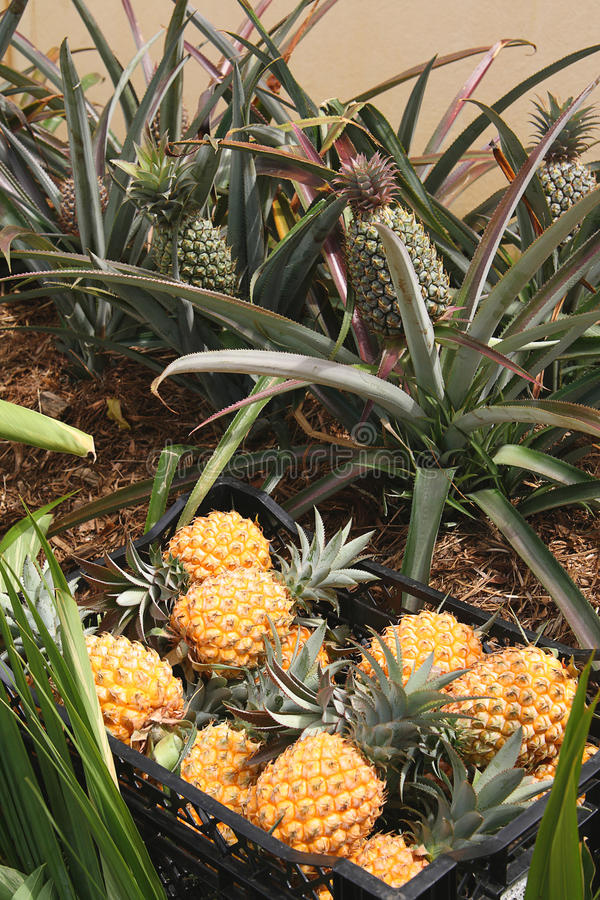 Green And Ripe Pineapples Royalty Free Stock Images