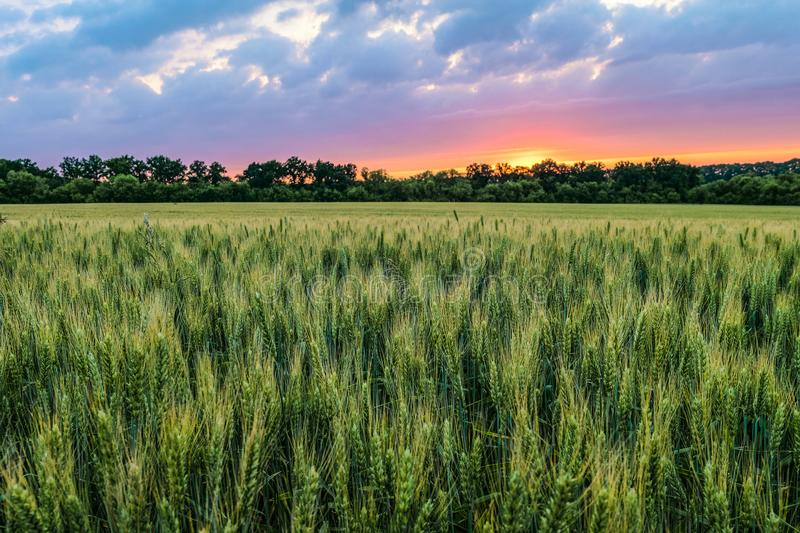 Green ripening ears of wheat field under cloudy sky at sunset royalty free stock photos