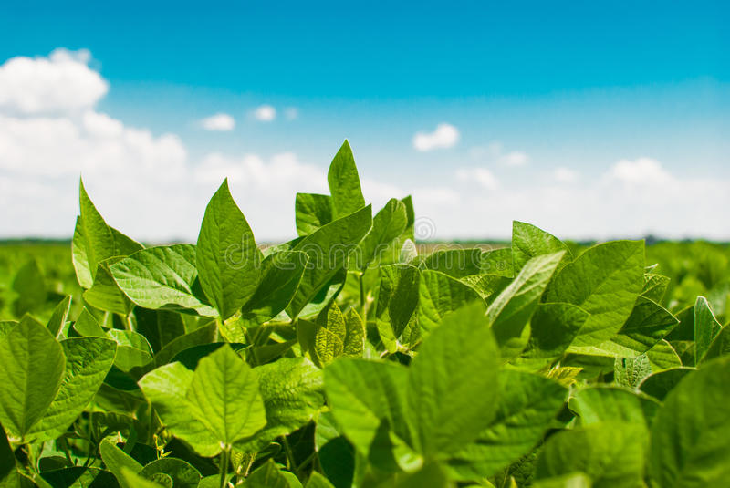 Green ripening soybean field stock image
