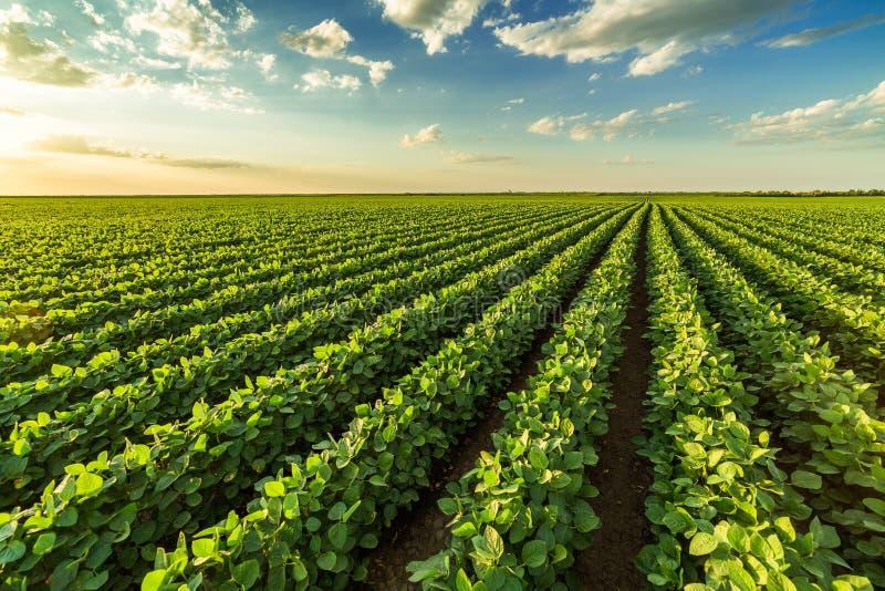 Green ripening soybean field stock photos
