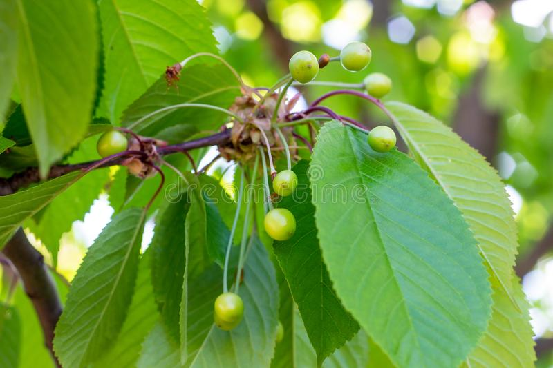 Green ripens on a sweet cherry tree branch in the garden in spring and summer on leaves background. stock photography