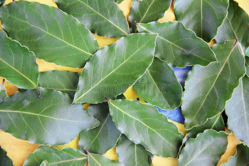 Green ripped natural laurel leaves with streak on a yellow background royalty free stock photos
