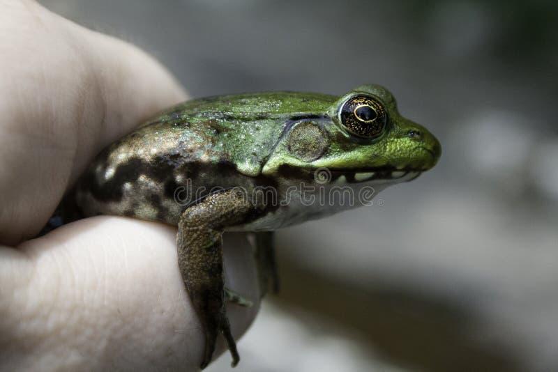 Green River Frosch, der in einer Personen-Hand gehalten wird lizenzfreies stockfoto