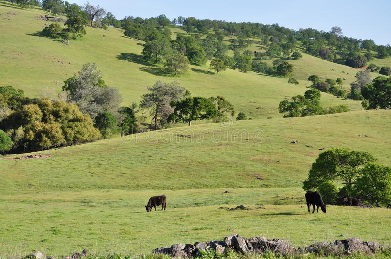 Green Rolling Hills with Cows stock photo