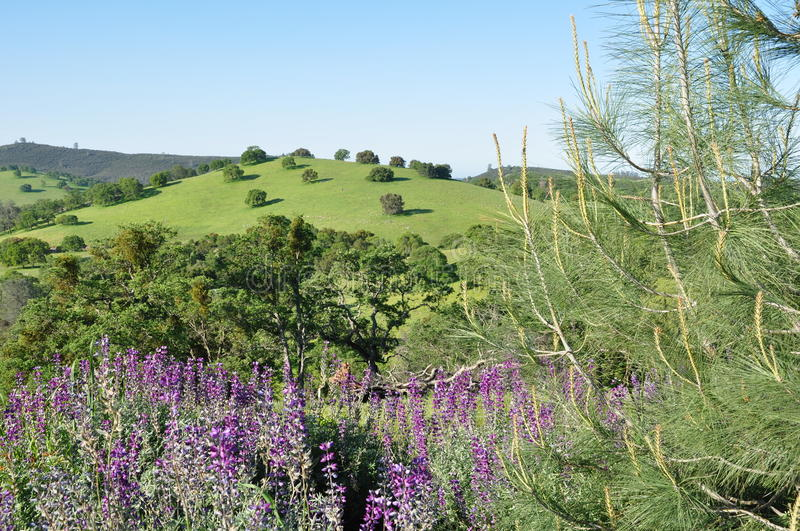 Green Rolling Hills with Purple Flowers royalty free stock image