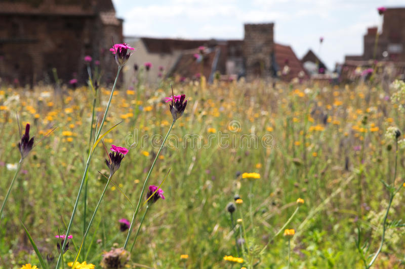 Green roof, meadow with wildflowers on a roof in the old town. Creating a habitat for wildlife, selected focus, narrow depth of field royalty free stock photography