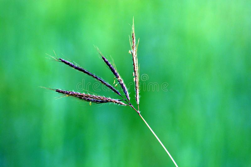 Green grass plant in ground. Green roof plants fall into four general categories: ... because its roots require less soil than most other grasses, or grass-like stock photo