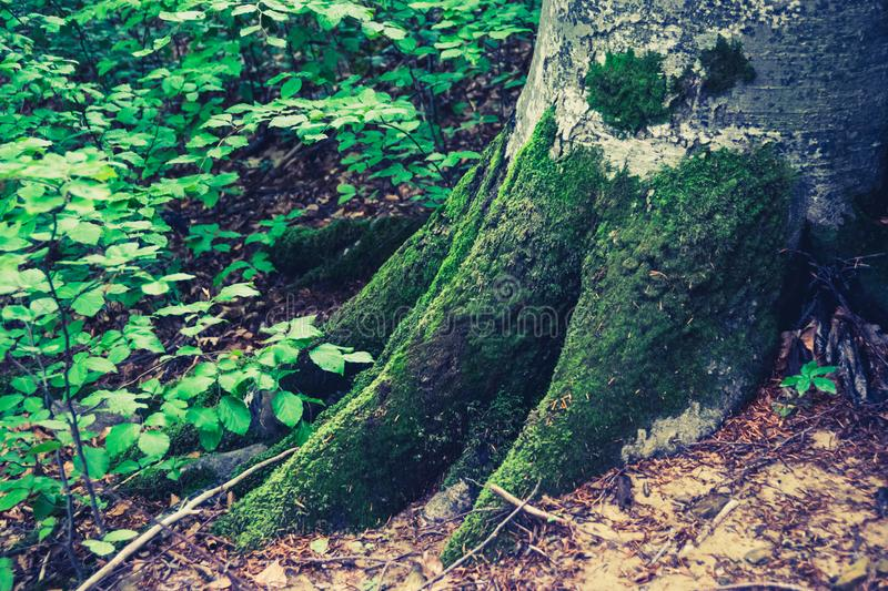 Green roots of tree. Close-up view of moss covered roots of tree in the forest. Carpathians of Ukraine in may. Natural background theme royalty free stock photo