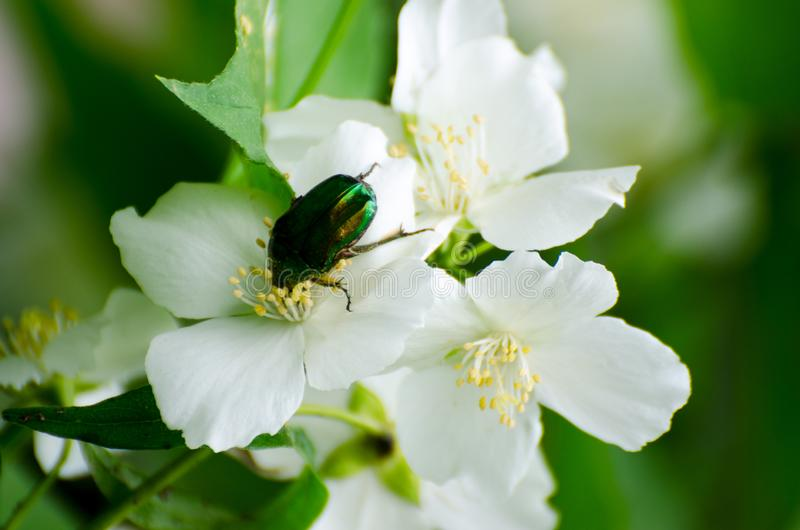 Green rose chafer beetle on white flowers of jasmine with blurred background royalty free stock image