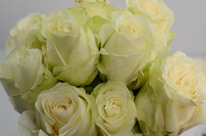 Green rose flowers summer spray on white background royalty free stock photography