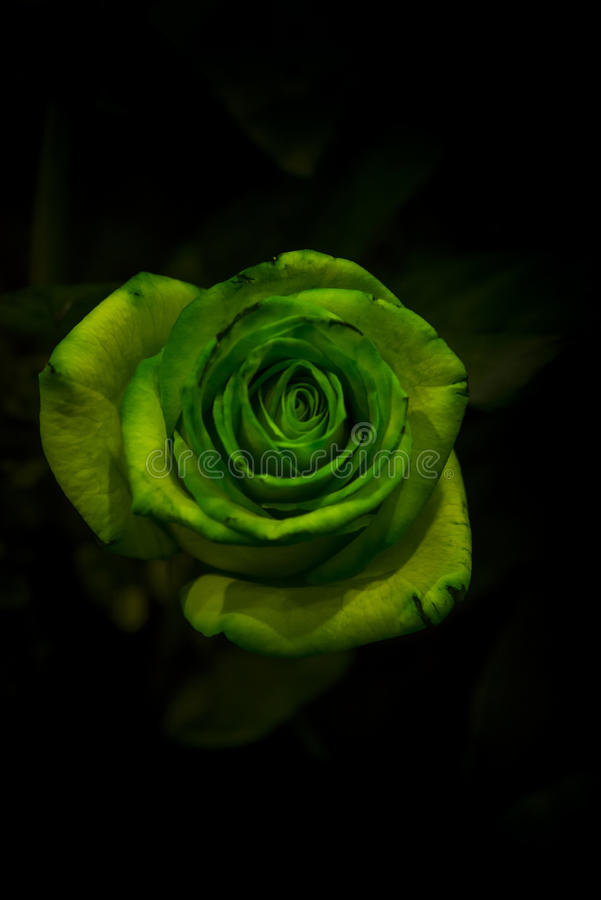 a green rose with green leaves on a dark background stock photo image of colorful decorative 93840052 dark background stock photo