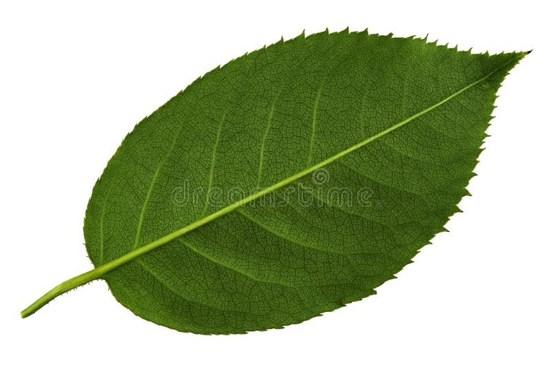 Green rose leaf isolated on the white background underside of leaf. Green rose leaf isolated on white background underside of leaf royalty free stock photography