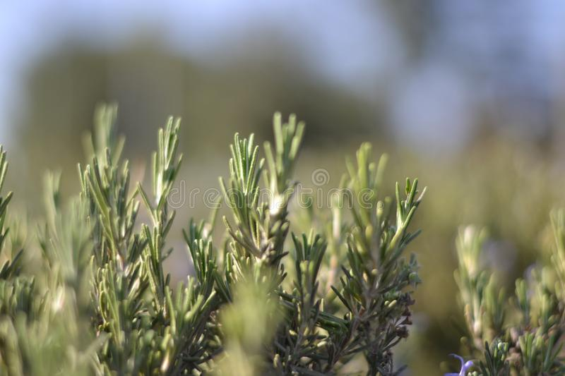 Green rosemary plant background closeup. Green rosemary plant closeup photography with blurred bokeh background royalty free stock photo