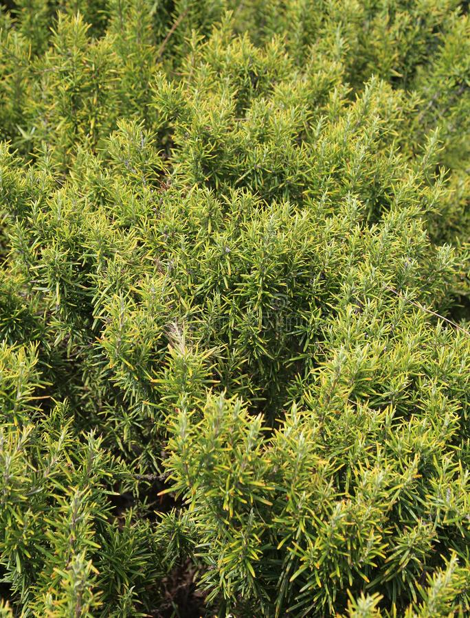 Green rosemary plants typical aromathic herbs Southern Europe. Green rosemary plants typical aromathic herbs on mediterranean area stock image