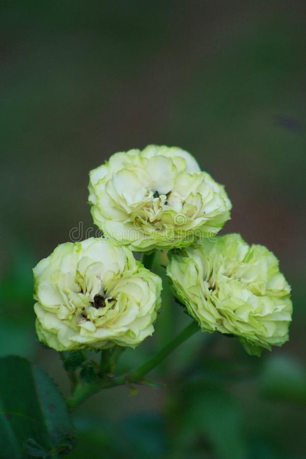 Green Roses royalty free stock image