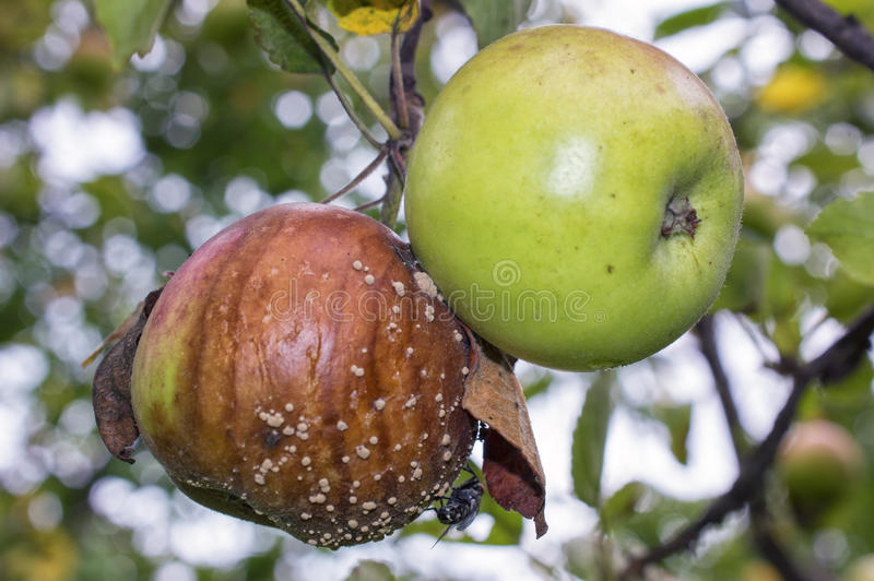 Green and rotten apples with Flesh-fly and mold on apple tree. The apple tree (Malus domestica) is a deciduous tree in the rose family best known for its sweet royalty free stock photo