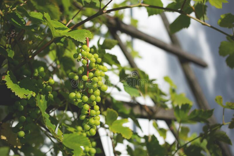 Green Round Fruit stock images