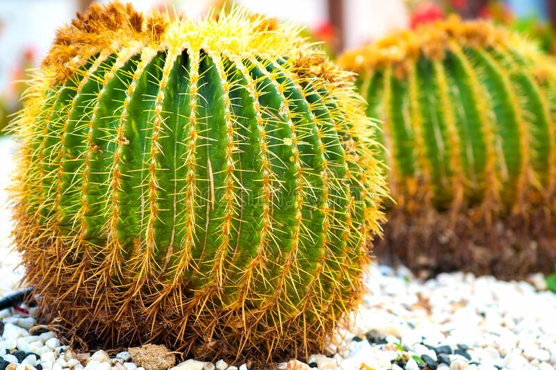 Green round tropical cactus plants with sharp spines growing on a ground covered with pebble stones outdoors in a park.  stock photo