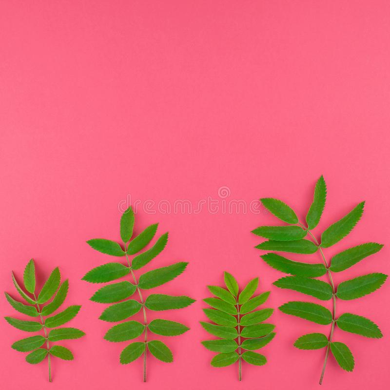 Green rowan tree leaves on bright pink background stock images