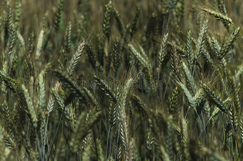 Download Green rye stock photo. Image of food, green, healthy - 25679908