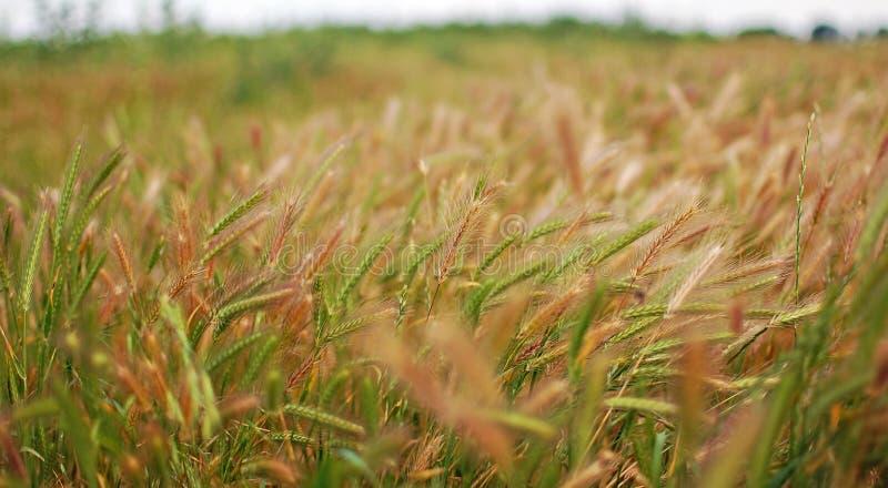 Download Green rye grain stock photo. Image of crop, seed, ears - 26195968