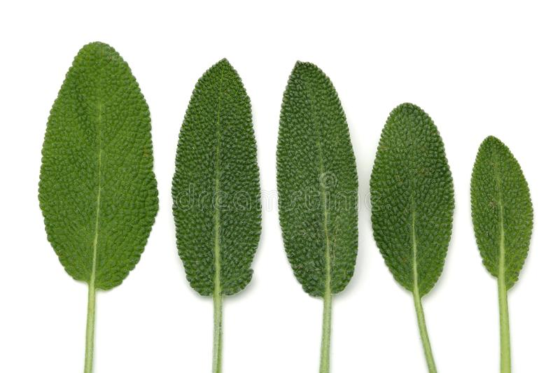 Green sage leaves on white background stock photography
