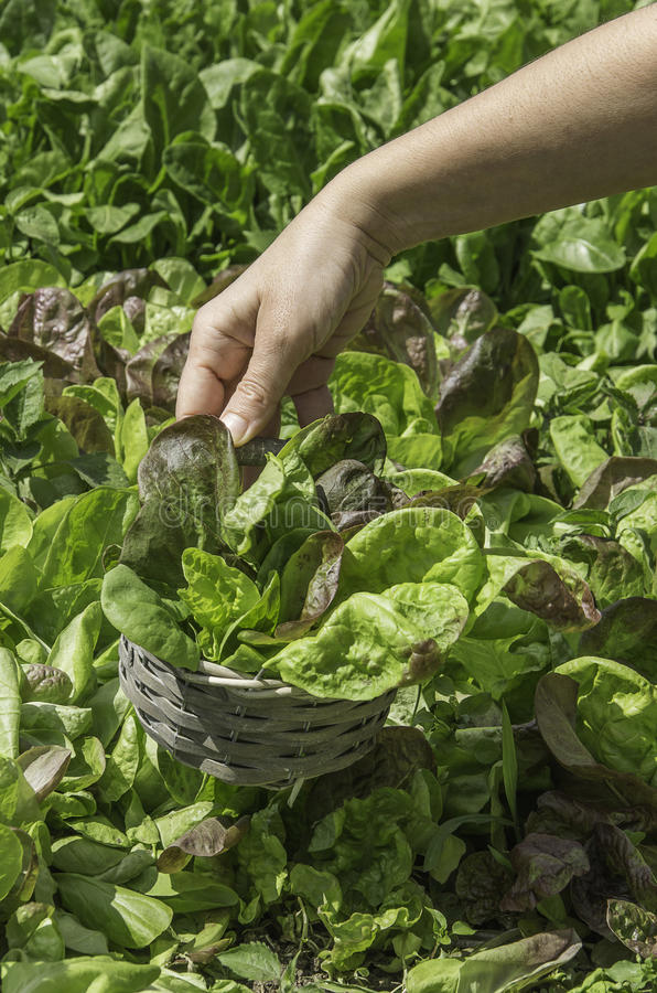 Green salad in a basket. Basket of green salad in a field stock photo