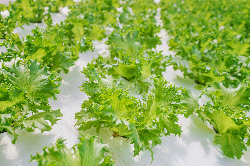 Green salad cabbage in the light royalty free stock photography