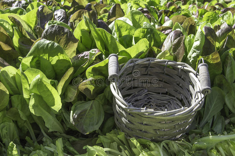 Green salad and empty basket. Basket in a field of green salad in a summer day stock photos