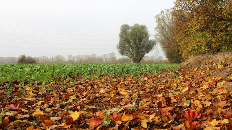 Green salad field in foggy day with fall leaves royalty free stock image