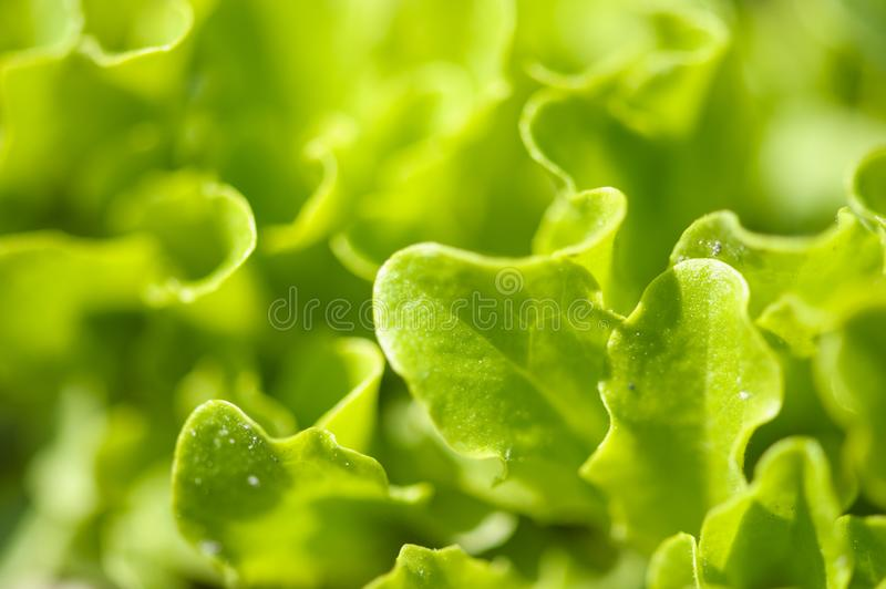 Green salad in a garden. Agriculture, beauty, botany, chlorophyll, closeup, color, detail, diet, dieting, dinner, eat, farm, field, flora, food, fresh stock photos