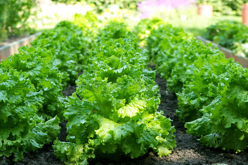 Green salad growing in a filed. Green fresh salad growing in a filed in lines, lettuce stock photo