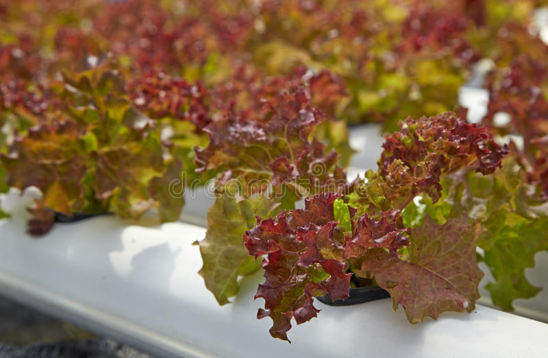 Green salad organic hydroponic royalty free stock images