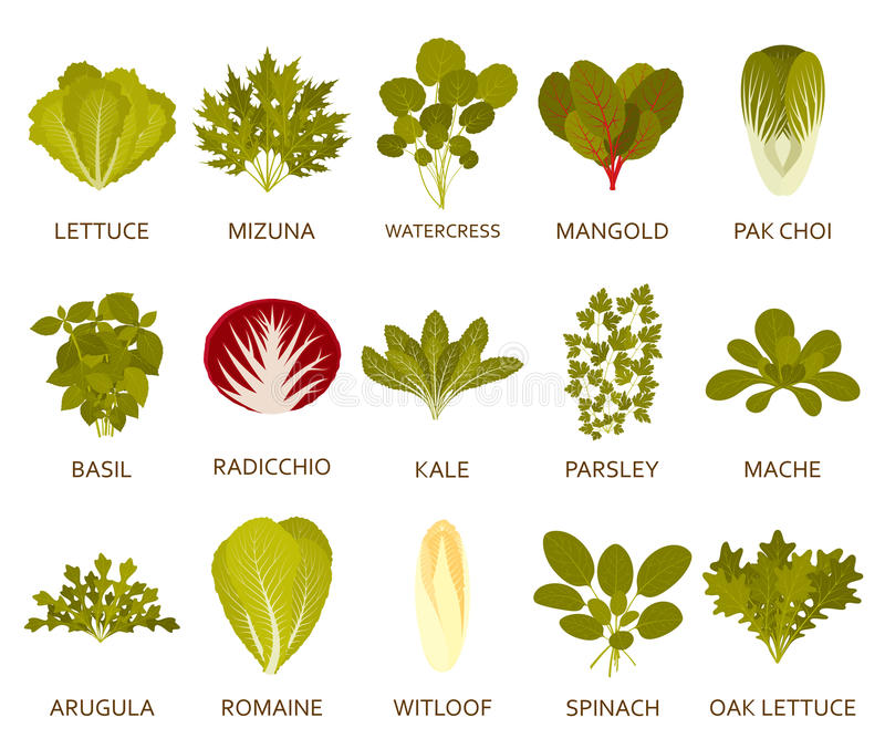 Green salad plants isolated on the white background. Vector illustration. royalty free illustration