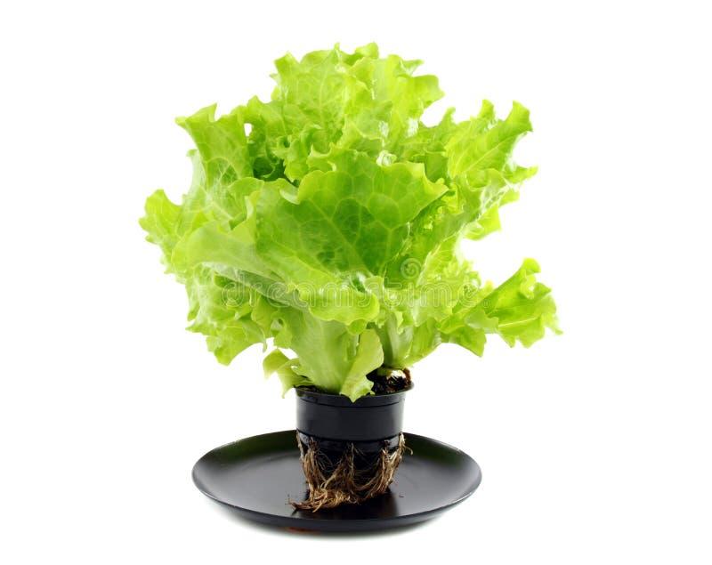 Green salad in a pot. Green salad in a pot on a white background stock photos