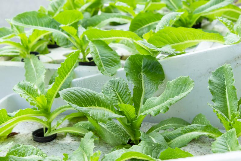 Green salad vegetables are grown on the foam. Green salad vegetables are grown on the foam , Thailand stock image