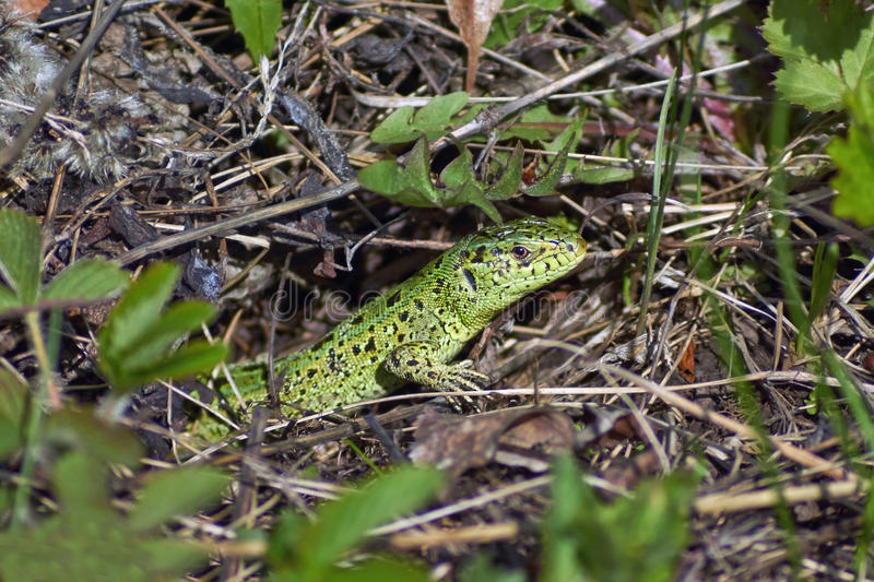 Green sand lizard hunts. Green sand lizard hunts in the spring grass royalty free stock photo