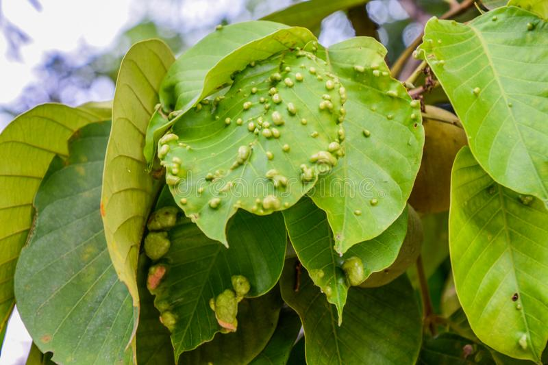 The green santol leaves a disease. Brown, agriculture, background, bacteria, blumeriella, blur, nature, cherry, close, close-up, closeup, coccomyces, color royalty free stock photos