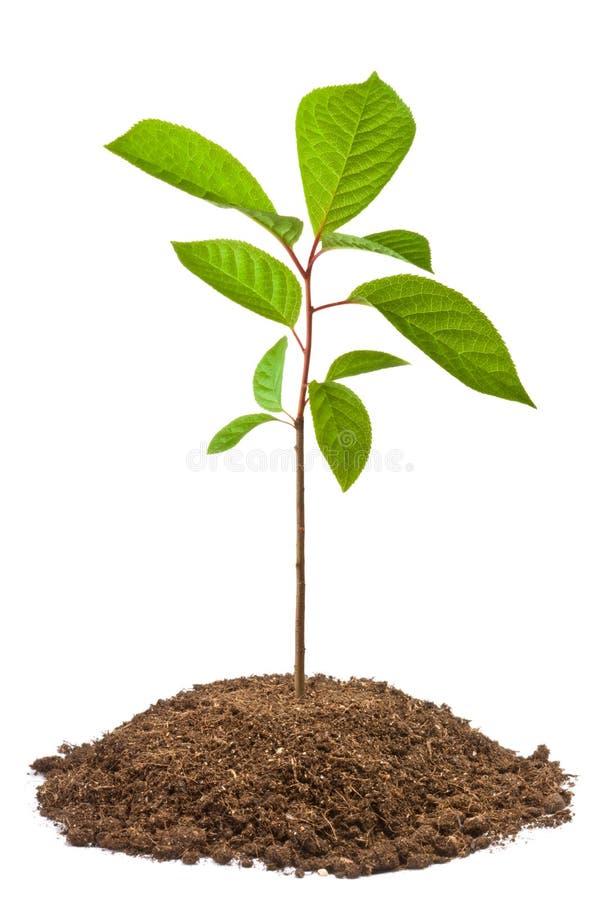 Green sapling of bird-cherry tree royalty free stock images