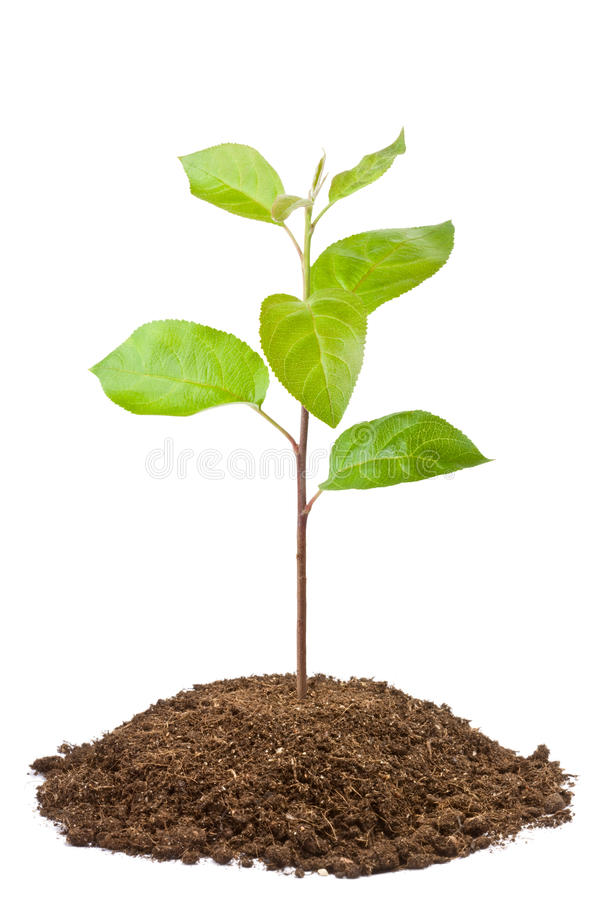 Free Green Sapling Of Apple Tree Royalty Free Stock Photos - 22206898