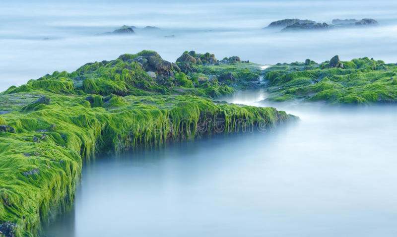 Green sea algae. Growing on rocks in this seascape stock photography