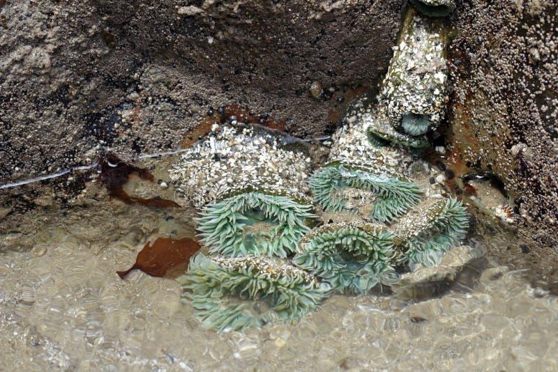 Download Green Sea Anemones stock photo. Image of sedentary, pool - 26165070