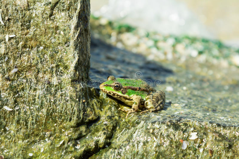 Green sea frog on stone stock photo