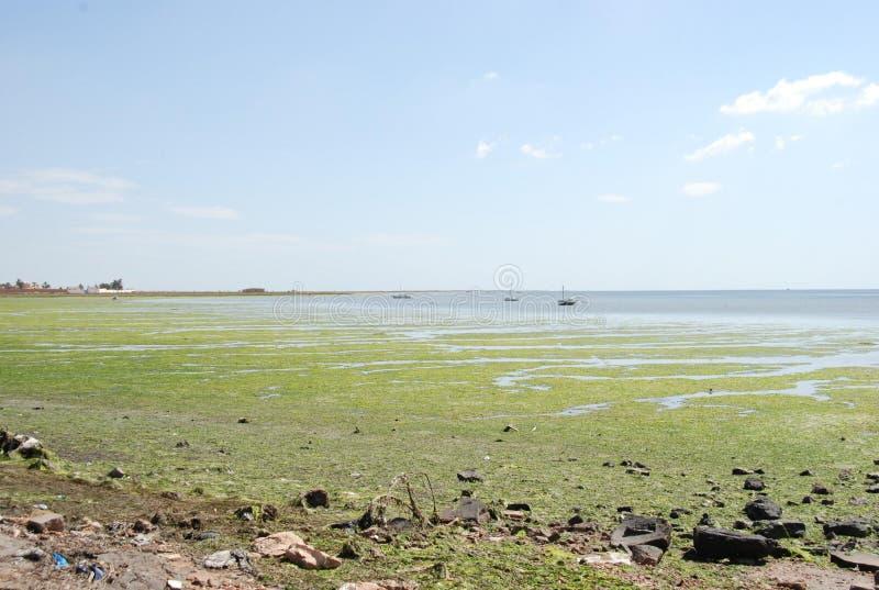 Flowering green sea in Tunisia. Flowering green Mediterranean sea off the coast of Tunisia royalty free stock photography