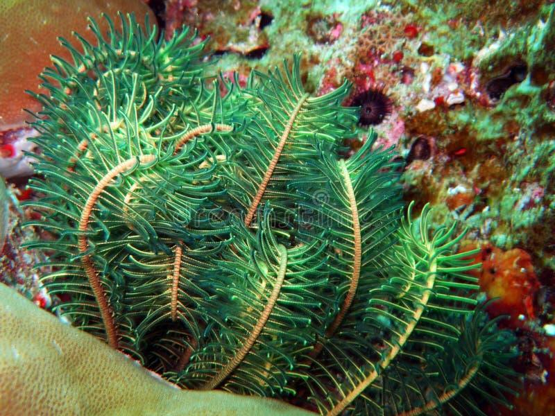Green sea lily. Close-up. Similan islands stock image