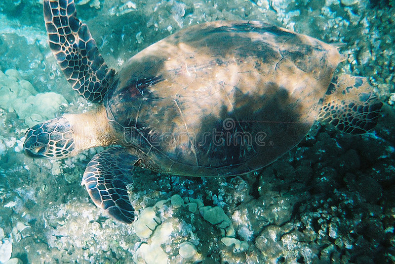 Download Green Sea Turtle Stock Photos - Image: 9403
