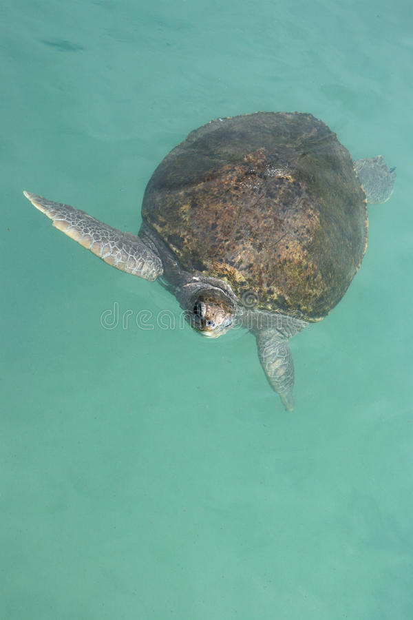 Free Green Sea Turtle Royalty Free Stock Photos - 11338778