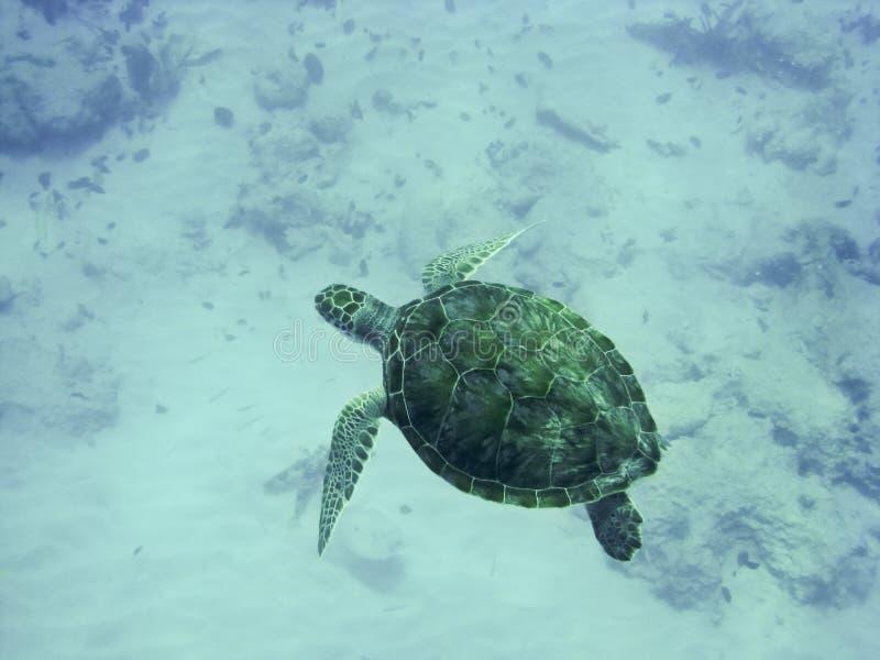 Green Sea Turtle. In Barbados stock photo
