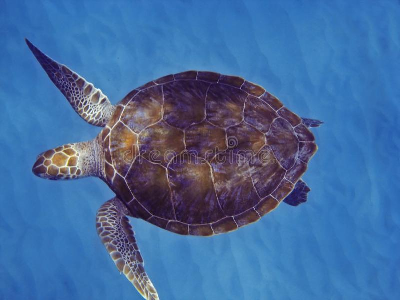 Green Sea Turtle. In Barbados stock photography