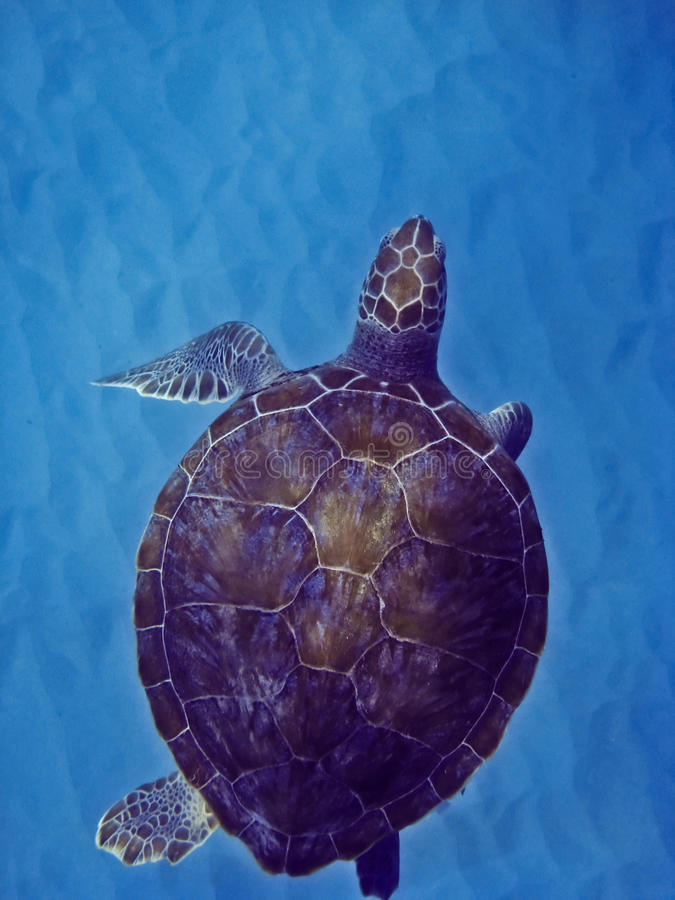 Green Sea Turtle. In Barbados royalty free stock photography